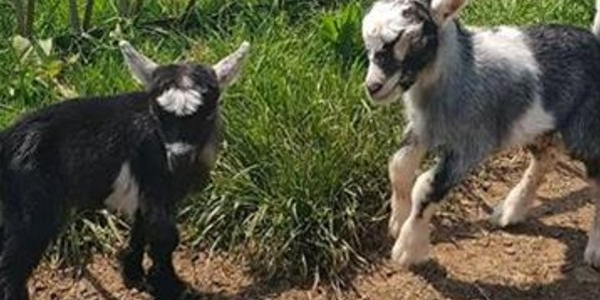 Say hello to our newborn baby goats