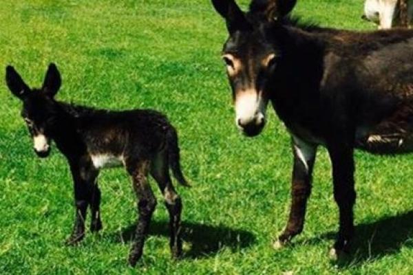 Cute Baby Donkey Born @ Cantref